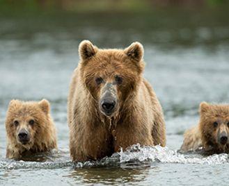 Brown Bears Of Kodiak