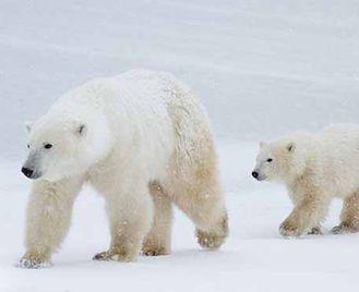 Classic Polar Bears