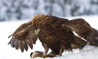 Golden Eagles In Winter
