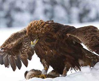 Golden Eagles In Winter