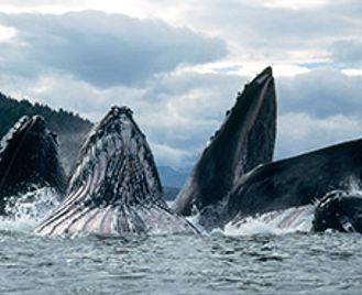 Bears & Whales In South East Alaska