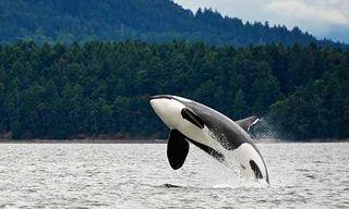 Orcas, Bears & Totems