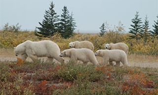 Polar Bear Mothers & Cubs