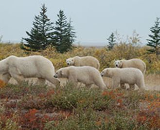 Hudson Bay'S Polar Bears