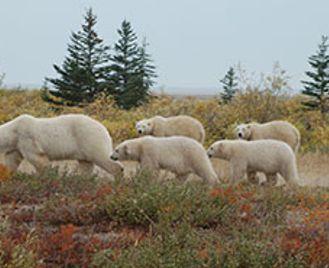 Polar Bear Mothers & Cubs