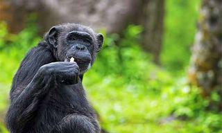 Gorillas & Chimps
