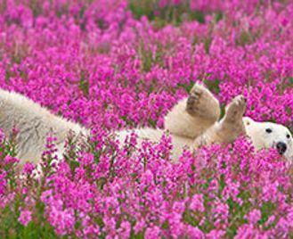 Beluga Whales & Polar Bears