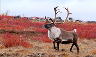 Caribou Migration & Great Bear Adventure