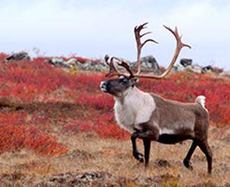 Caribou Migration & Great Bear Adventure