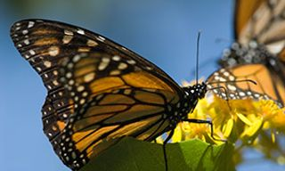 Monarch Butterfly Migration & Humpback Whales