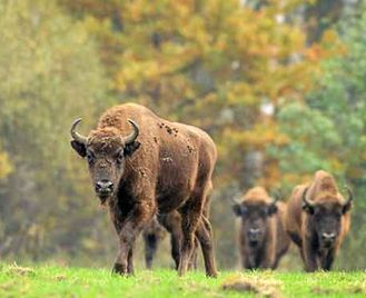 Rewilding Bison In The Tarcu Mountains Reserve