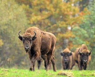 Rewilding Bison In The Tarcu Mountains Reserve
