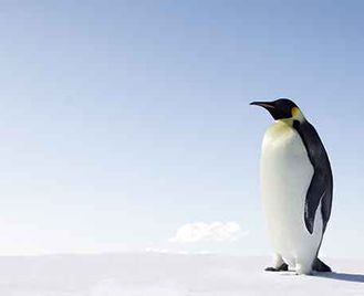 Emperor Penguins Of The Weddell Sea