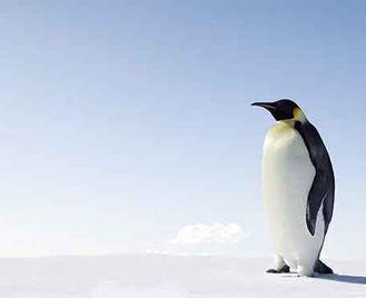 Emperor Penguins Of The Weddell Sea