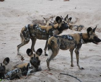 Carnivores Of South Luangwa