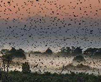 Luangwa & A Blizzard Of Bats