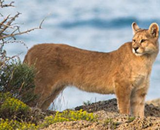 Puma-Tracking In Southern Chile