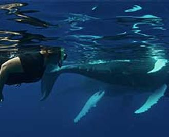 Snorkelling With Humpbacks On Silver Bank