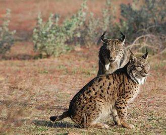 Iberian Lynx Quest