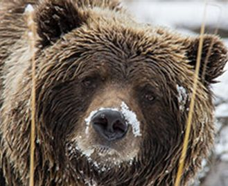 Yukon'S Ice Bears