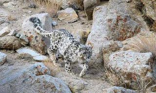 Searching For Snow Leopards