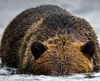 Grizzly Bears On The Taku River