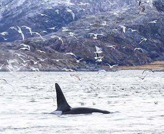 Norway'S Winter Wildlife & Northern Lights (Was Norway: Whales & Northern Lights)