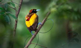 Culture & Birds Of Paradise Photography