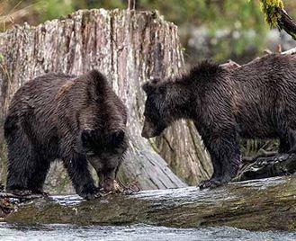 Festival Of Bears