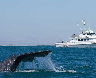 Great Whales Of Mexico'S Pacific Coast