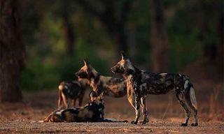 Mana Pools: Wild Dogs & Elephants Photography