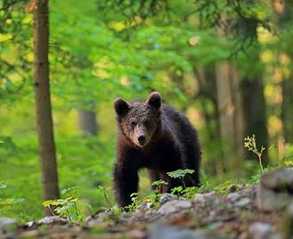 Brown Bear Photography In Spring