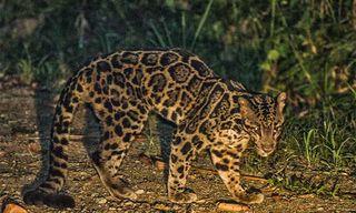 Borneo'S Rare Mammals