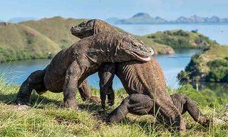 Primates & Komodo Dragons