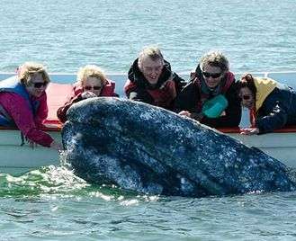Grey Whales Of San Ignacio Lagoon