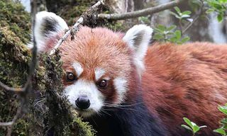 Red Pandas & Tigers Photography
