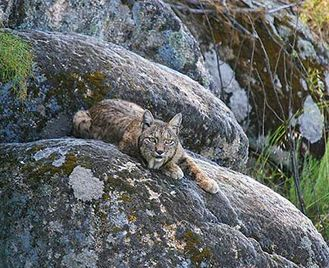Iberian Lynx In Andújar