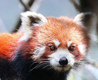 Red Pandas & Tigers