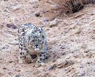 Snow Leopards Of Ladakh