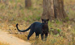 Nagarhole'S Tigers, Wild Dogs & Leopards