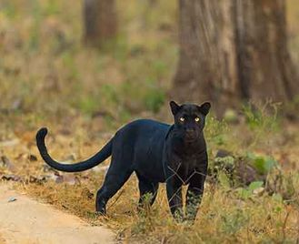Nagarhole'S Tigers, Wild Dogs & Leopards