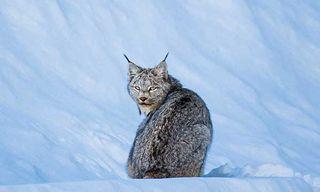 Wild Canada In Winter