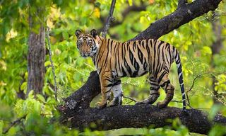 Tiger Trails & Wildlife Photography