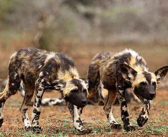 Botswana'S Wild Dogs