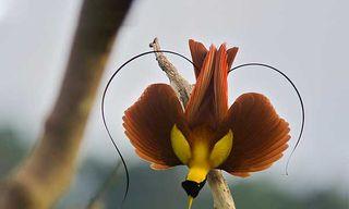 Raja Ampat'S Birds Of Paradise
