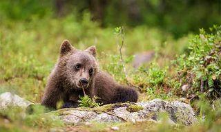Finland Bear Photography With Tom Mason