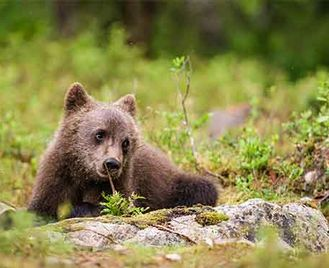 Finland Bear Photography With Tom Mason