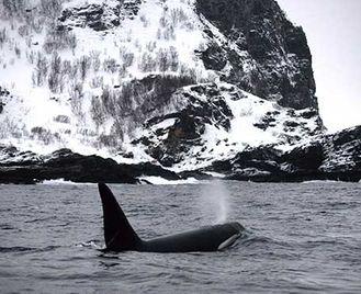 Skjervoy'S Whales & Northern Lights