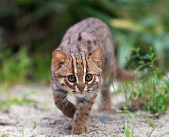 Small Cats Of North-West India