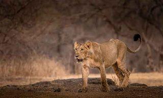 India'S Big Cats